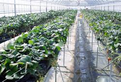 イチゴ高設栽培